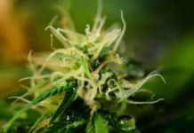 Cultivar Variedades Autoflorecientes - Cultivo Semillas Autoflorecientes