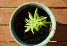 Beneficios de la Marihuana - Beneficios para la Salud de la Marihuana