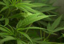 Cómo tener Plantas de Marihuana Muy Verdes - Cómo Cultivar Marihuana Muy Verde