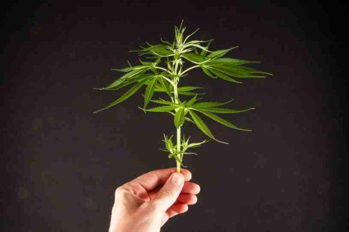 Raíces de la Marihuana Sanas - Cómo Tener las Raíces de la Marihuana Sanas