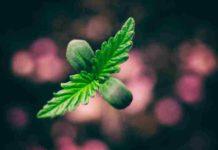 Fase de Crecimiento en las Plantas de Marihuana - Fase Crecimiento Cultivo Marihuana