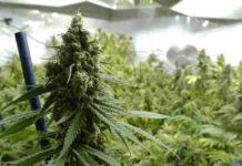Potenciar el Efecto de la Marihuana - Aumentar el Efecto de la Marihuana