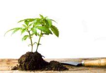 Ayudar a las Plantas de Marihuana - Recuperar las Plantas de Marihuana