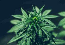 Gustos Amantes de la Marihuana - Preferencias Amantes de la Marihuana