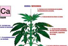 Calcio en la Marihuana - Cómo Actúa el Calcio en las Plantas de Marihuana