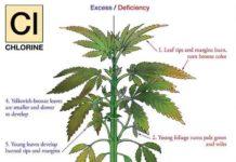 Cloro en la Marihuana - Cómo Actúa el Cloro en las Plantas de Marihuana