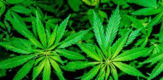 Errores Autocultivo Marihuana - Errores en el Cultivo Marihuana