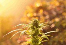 Cultivo Orgánico de Marihuana - Hacer Cultivo Orgánico de Cannabis