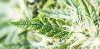 Mitos Marihuana - Desterrando Mitos sobre la Marihuana