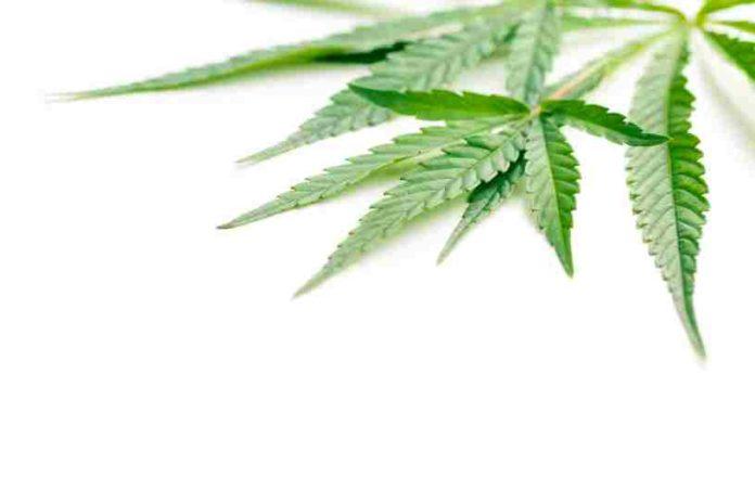 ¿Qué hacer con las hojas de Marihuana? - Utilidades hojas de Marihuana
