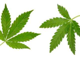 Hojas de la Planta de Marihuana - Hojas Marihuana