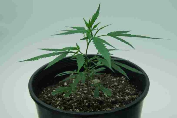 Marihuana Combate el Cáncer - Marihuana Contra el Cáncer