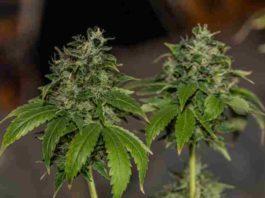 Cómo Producir más Marihuana - Aumentar la Producción de Marihuana