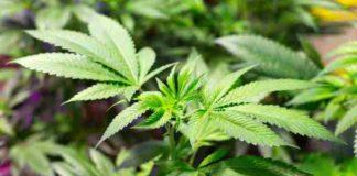 Cultivo Agua con Agua Oxigenada - Agua Oxigenada Marihuana