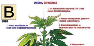 Carencias de Boro en la Marihuana - Déficit de Boro en la Marihuana