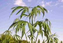 Químicos de la Marihuana - Componentes Químicos de la Marihuana