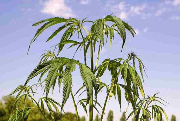 Cannabinoides Químicos de la Marihuana - Cannabinoides de la Marihuana