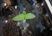Cultivar Semillas de Marihuana Feminizadas - Semillas Feminizadas