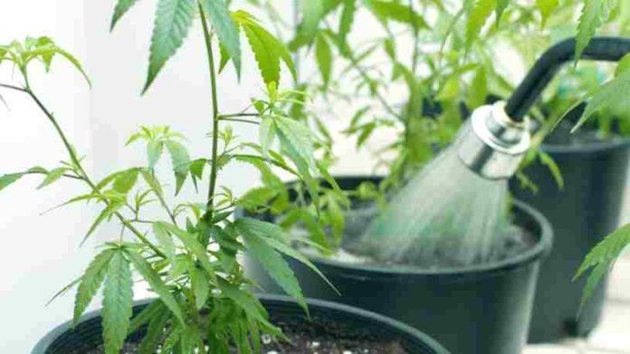 Cómo Regar Plantas Marihuana - Consejos Regar Plantas Marihuana
