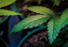 ¿Verdades del THC? - ¿Qué sabemos del THC?