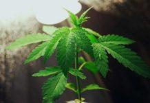 Marihuana Autofloreciente Rica en CBD - Las Mejores Semilas Autos Ricas en CBD