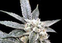 24 k Gold - Semilla de marihuana 24 k Gold