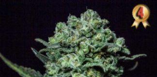 Semilla de Marihuana Muse - Semillas Muse de R-Kiem Seeds