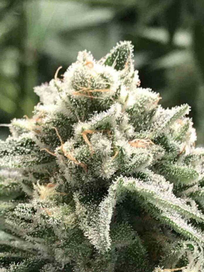 Semilla de Marihuana Sublimator - Semilla de Sublimator R-Kiem Seeds