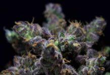 Semilla de Marihuana Harybo - Semillas de Marihuanas Harybo