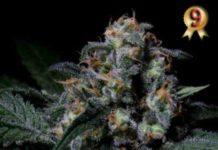 Semilla de Marihuana Negra 44 - Semillas de Marihuanas Negra 44