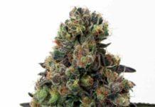 Semilla de Marihuana Acid Dough - Semillas de MarihuanasAcid Dough