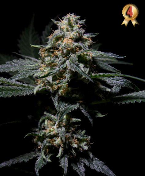 R-kiem - Semilla de Marihuanar-kiem del Banco de semillas R-kiem Seeds