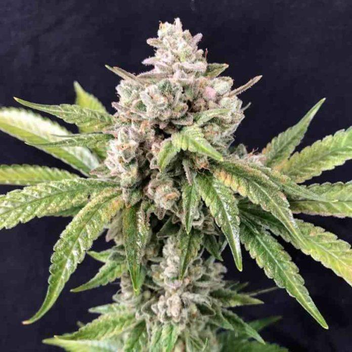 Semilla de Marihuana Deadcheese - Semilla de Marihuanas Deadcheese