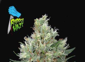 Semilla de Marihuana Ripper Haze - Semillas de MarihuanasRipper Haze
