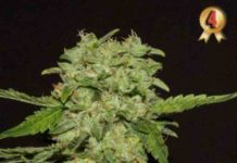 Semilla de Marihuana Portela - Semillas de Marihuanas Portela