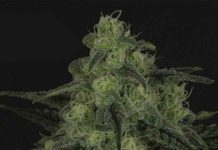 Semilla de Marihuana Black Valley - Semillas de MarihuanaRipper Seeds