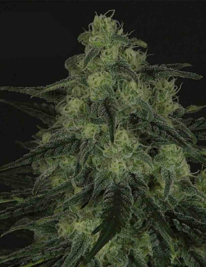 Semilla de Marihuana Black Valley - Semillas de Marihuana Ripper Seeds