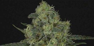 Semilla de Marihuana Criminal + - Semillas de MarihuanaRipper Seeds