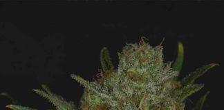 Semilla de Marihuana Double Glock - Semillas de MarihuanaRipper Seeds