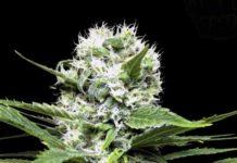 Semilla de Marihuana Lemon Ice - Semillas de MarihuanaRipper Seeds