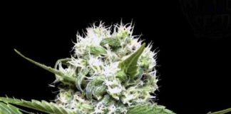 Lemon Ice - Semillas de Marihuana Lemon Ice de Ripper Seeds