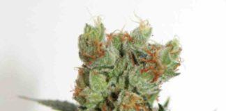 Semilla de Marihuana Fuel Og - Semillas de MarihuanasFuel Og