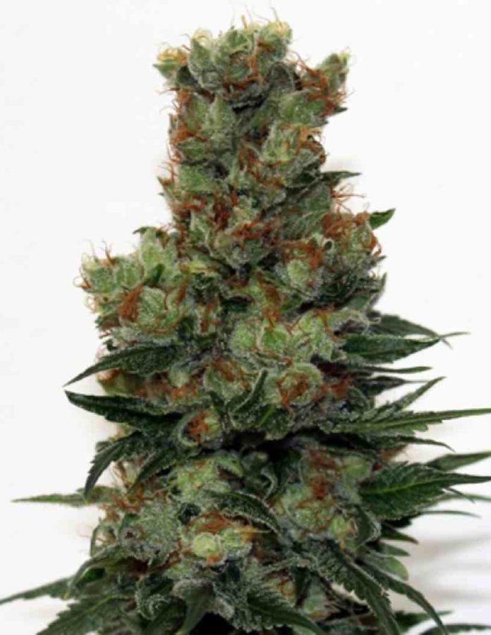 Semilla de Marihuana Ripper Badazz - Semillas de MarihuanaRipper Badazz