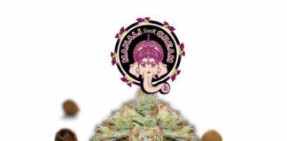 Semilla de Marihuana Manali Sour Cream - Semillas de Marihuana Manali Sour Cream