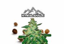 Semilla de Marihuana Hymalahaze - Semillas de Marihuana Hymalahaze