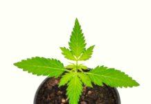 Crecimiento Vegetativo de la Marihuana - ¿Qué hay que tener en cuenta en el crecimiento Vegetativo?