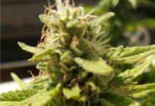Tips para el Consumo de Marihuana - Consejos para el Consumo de Marihuana