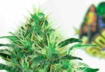 Semilla de Marihuana Sideral - Semillas de MarihuanaRipper Seeds