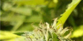 Variedades Marihuanas - Clases de Marihuanas