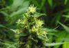 Últimos días de Cultivo de Marihuana - Importantes Últimos días de Cultivo de Marihuana